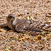Sun City Sharp Shinned Hawk 4-28-17_MG_3078
