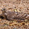 Sun City Sharp Shinned Hawk 4-28-17_MG_3081
