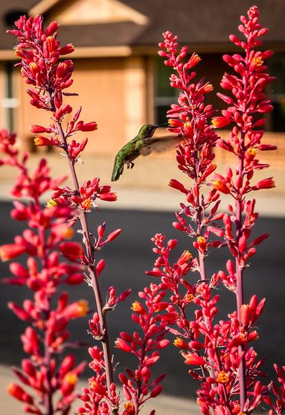 Sun City Humming Bird 4-26-17_V9A2551