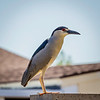 Black Crowned Night Heron 4-14-17_MG_3068