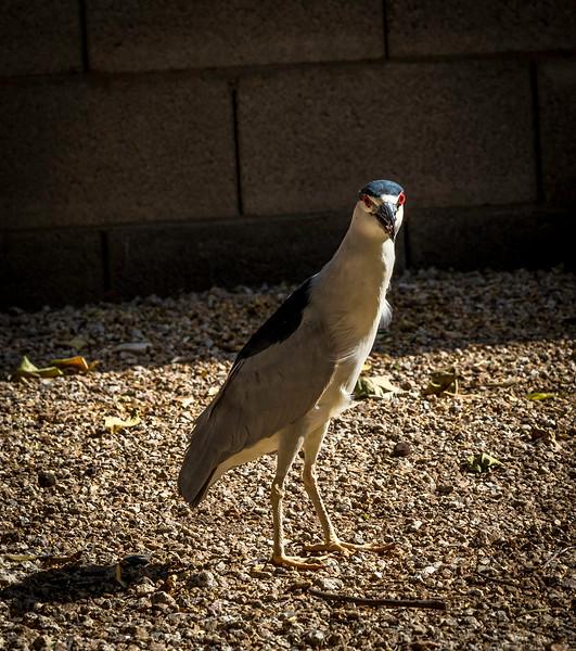 Black Crowned Night Heron 4-14-17_MG_3066