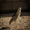 Black Crowned Night Heron 4-14-17_MG_3066