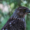 Sun City Harris Hawk 3-15-16_V9A2320