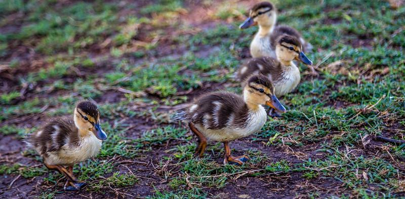 Sun City baby ducks 4-21-17_V9A2545