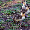 Sun City baby ducks 4-21-17_V9A2545