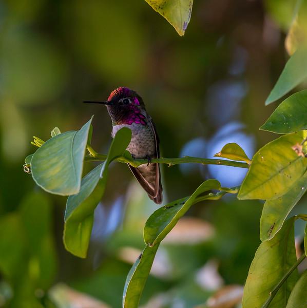 Humming bird 1-30-18_V9A4228