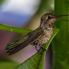 Humming bird 6-20-17_MG_3129-2