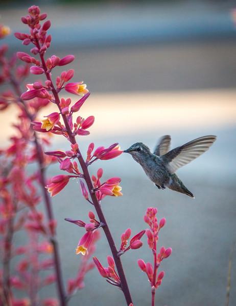 Sun City humming bird 4-21-17_V9A2529