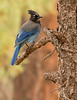 Stellar's Jay<br /> Grand Canyon National Park North Rim Arizona