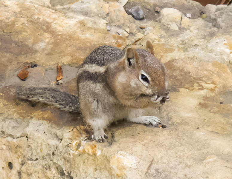 Golden-mantled Ground Squirrel<br /> Grand Canyon National Park North Rim Arizona