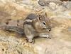 Golden-mantled Ground Squirrel<br /> Grand Canyon National Park North Rim Arizona