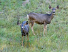 Mule Deer Doe and Yearling<br /> Grand Canyon National Park North Rim Arizona