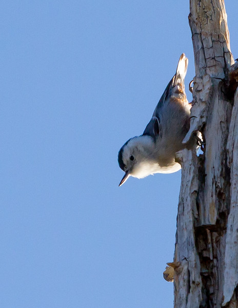 White-breasted Nuthatch<br /> Grand Canyon National Park North Rim Arizona