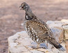 Blue Dusky Grouse<br /> Grand Canyon National Park North Rim Arizona
