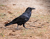 Common Raven<br /> Grand Canyon National Park North Rim Arizona