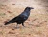 Common Raven<br /> Grand Canyon National Park North Rim Arizona