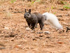 Kaibab Squirrel<br /> Grand Canyon National Park North Rim Arizona