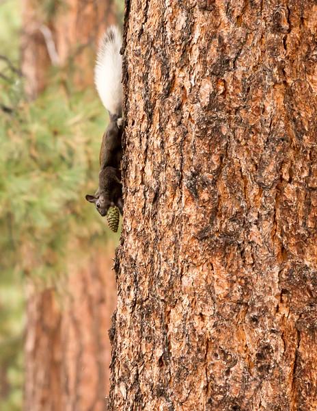 Kaibab Squirrel<br /> Grand Canyon National Park North Rim Arizona