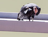 California Condor #68<br /> Navajo Bridge, Arizona