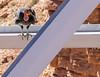 California Condor #68<br /> Navajo Bridge, Arizona