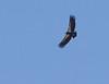 Condor #92<br /> Vermilion Cliffs National Monument Arizona