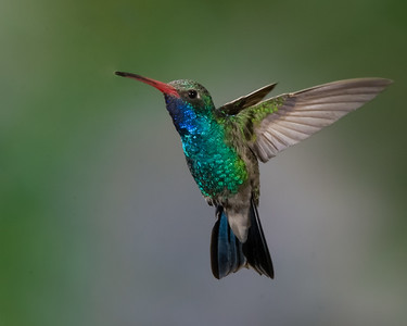 Broad_Billed_Hummingbird_RAW_MG_7087