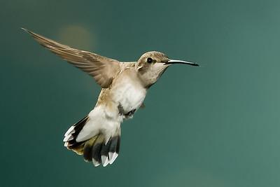 Black_Chinned_Hummingbird_RAW_MG_7033