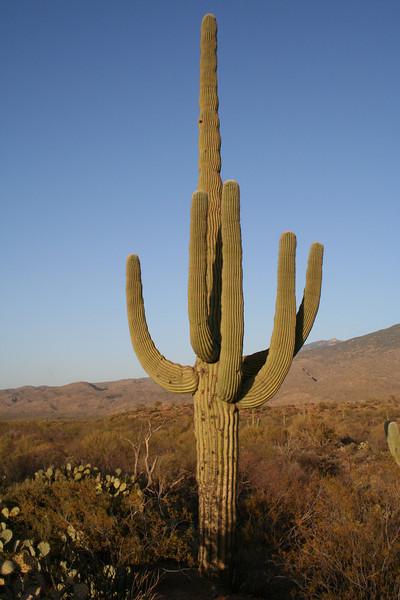 Saguaro Cactus, Saquaro National Park.