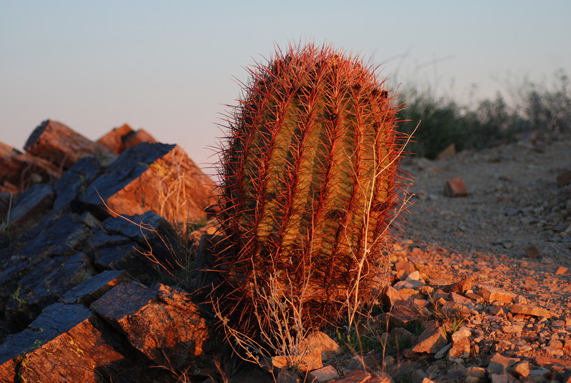 Cactus at sunset.