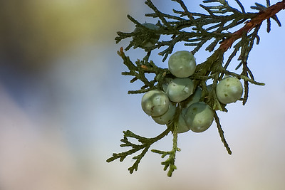 Juniper Berries Macro_MG_6720