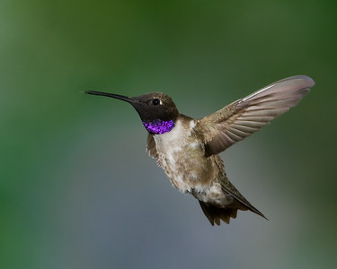 Black_Chinned_Hummingbird_RAW_MG_7080
