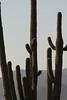 Saguaro Cactus, Saguaro National Park.