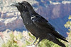 Raven at the Grand Canyon.