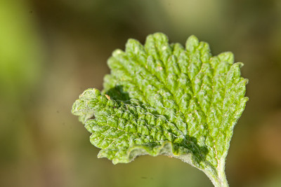 Leaf_Macro_RAW_MG_6869