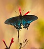 Pipevine Swallowtail Butterfly, Agua Caliente, Tucson, AZ