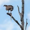 Osprey with fish, Armand Bayou, Houston, TX