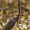 Tricolored Heron, Horsepen Bayou, Houston, TX