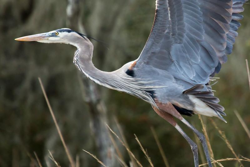 Great Blue Heron, Horsepen Bayou, Houston, TX