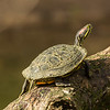 Red-Eared Turtle, Horsepen Bayou, Houston, TX
