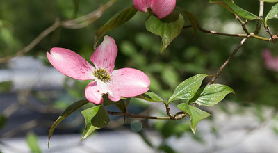 Dogwood, Hillwood Estates, Washington, DC
