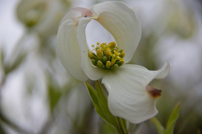 Dogwood, United States Botanic Garden, Washington, DC