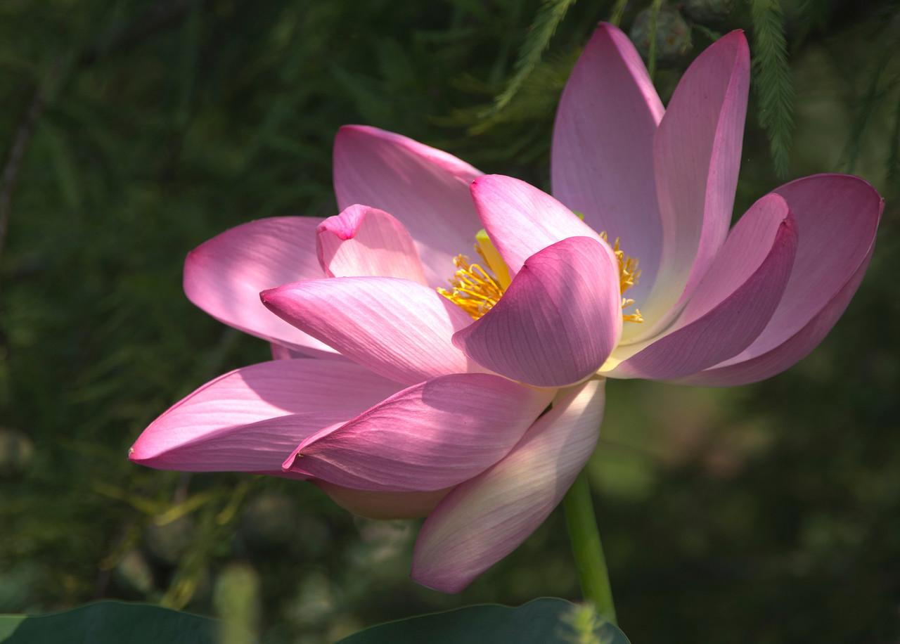 Lotuses and Water Lilies, Kenilworth Aquatic Gardens, Washington, DC