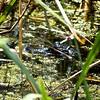lil' baby gator