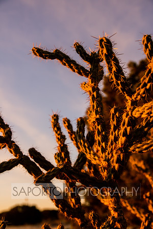 Cactii at Dawn