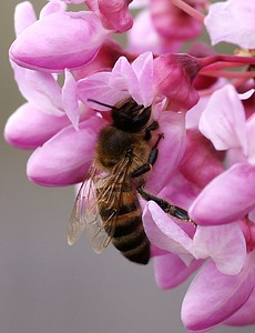 2005 Bee on Redbud flowers