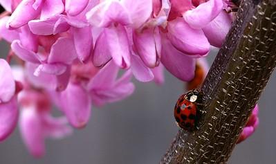 2005 Ladybug on Redbud tree