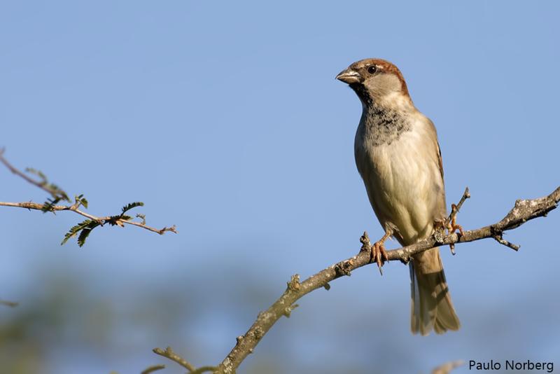 Passer domesticus<br /> Pardal<br /> House Sparrow<br /> Gorrión - Guyra tupao