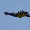 Cyanocorax chrysops<br /> Gralha-picaça<br /> Plush-crested Jay<br /> Urraca - Aka'ê para