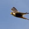 Falco femoralis<br /> Falcão-de-coleira<br /> Aplomado Falcon<br /> Halcón plomizo - Kiri kiri guasu