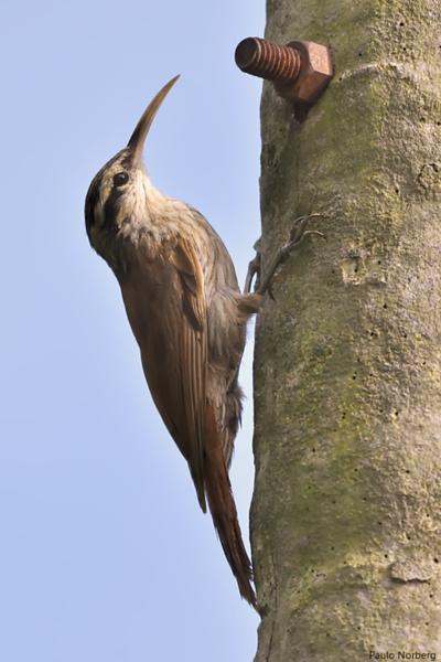 Lepidocolaptes angustirostris<br /> Arapaçu-de-cerrado<br /> Narrow-billed Woodcreeper<br /> Chinchero chico - Arapasu ka'atî